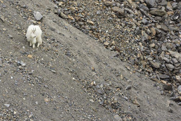 Cabra blanca de las rocosas (Oreamnos americanus)