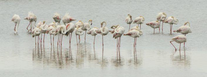 Flamencs rosats (Phoenicopterus) - Delta de l'Ebre