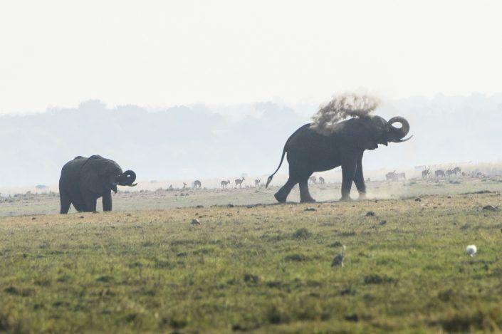 Elefant africà (Loxodonta africana) - PN Chobe