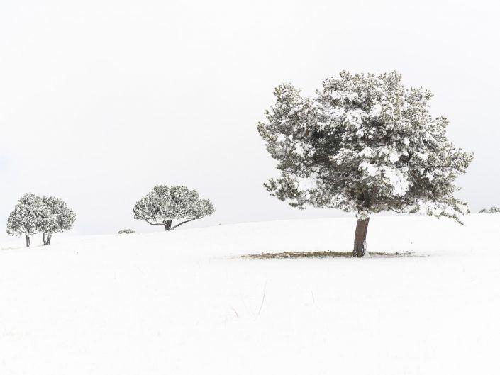 Ceretania in white
