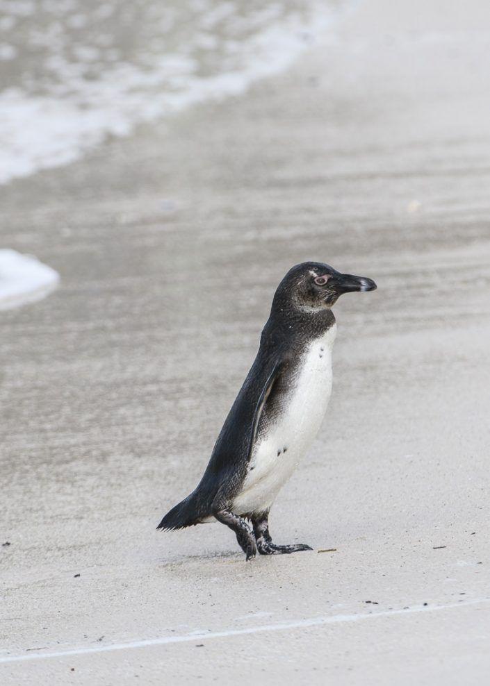 Pingüí africà (Spheniscus demersus) - Cap de Bona Esperança