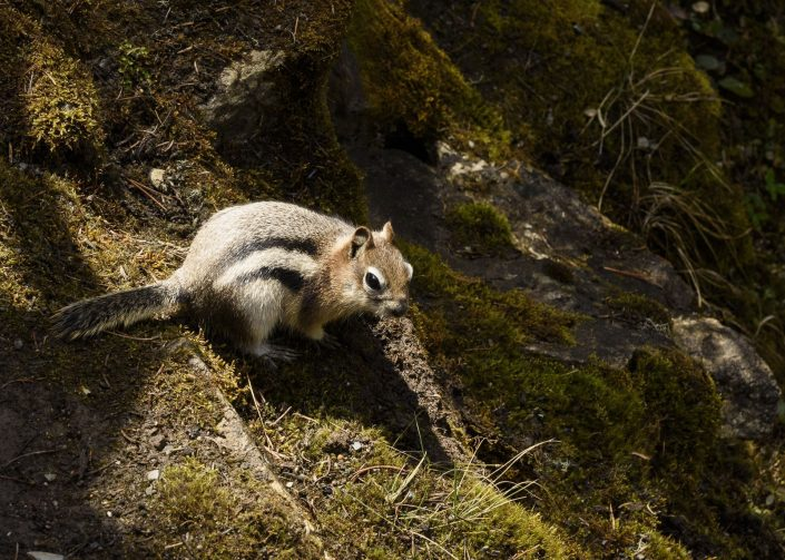 Esquirol de pi groc (Tamias amoenus)