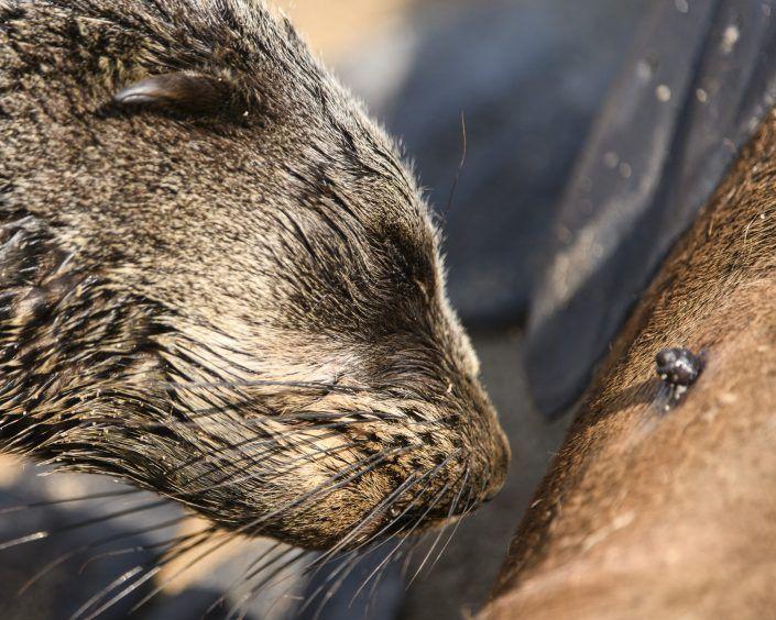 Lleó marí (Otariinae) - Cape Cross