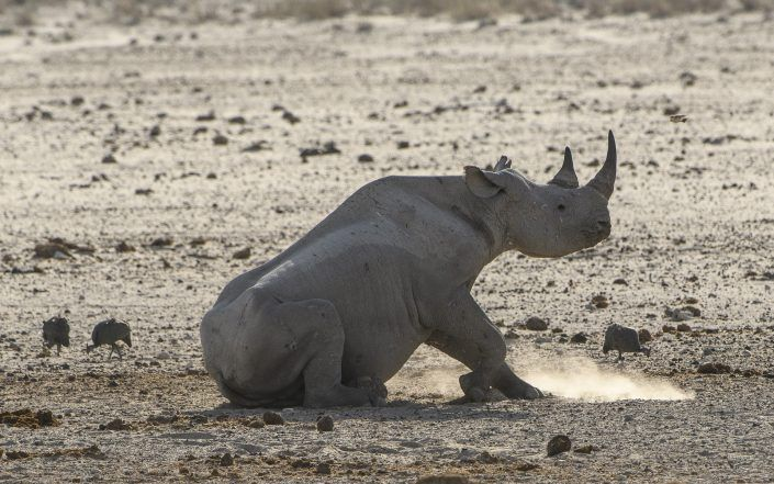 Rinoceront negre (Diceros bicornis) - PN Etosha