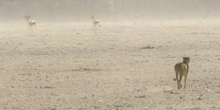 Guepardo (Acinonyx jubatus) y gacelas - PN Etosha