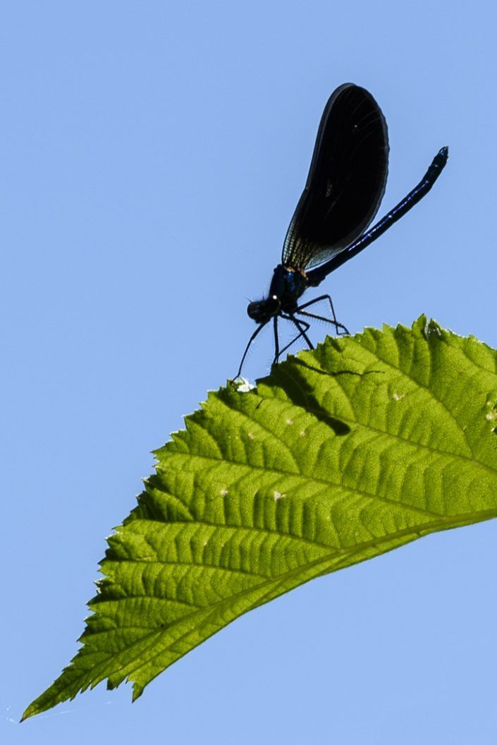 Libélula negra (Anisoptera)
