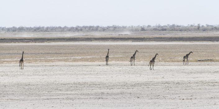 Jirafa (Giraffa Camelopardalis) - PN Etosha