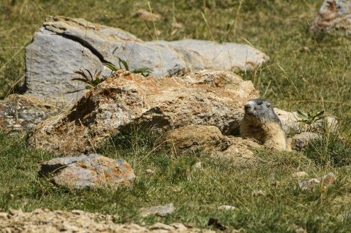 Marmota alpina (Marmota marmota)