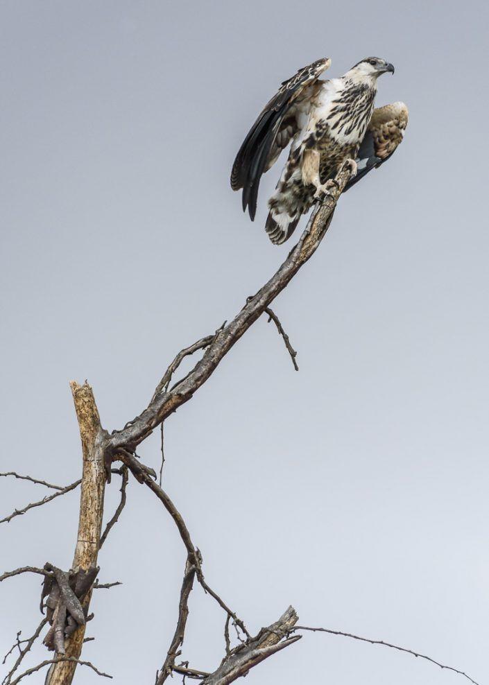 Áliga pescadora africana juvenil (Pandion haliaetus) - Llac Naivasha