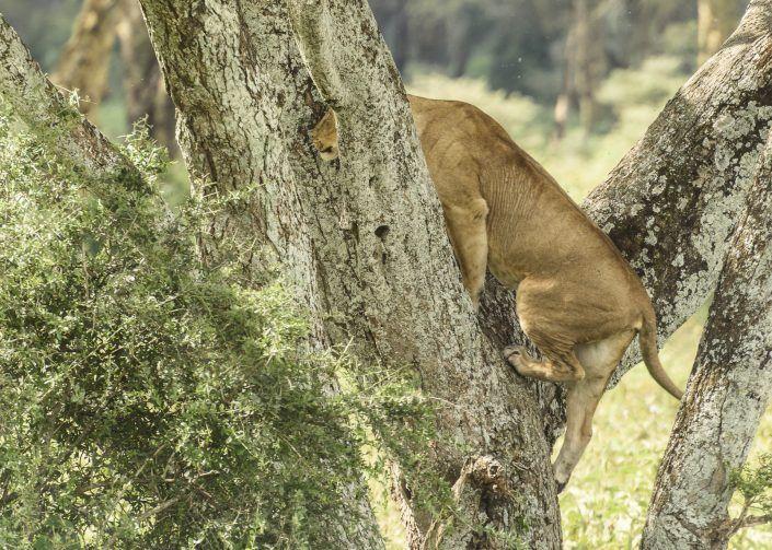Lleó (Panthera leo) - Nakuru NP