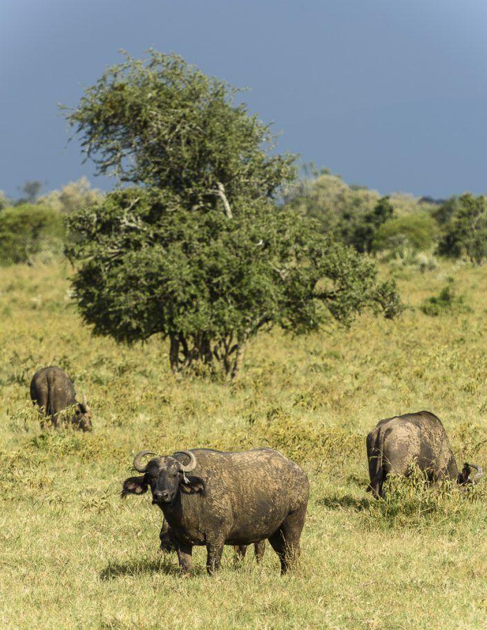 Búfalo cafre (Syncerus caffer) - PN Lago Nakuru