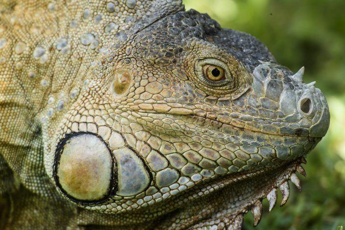 Iguana verda (Iguana iguana)