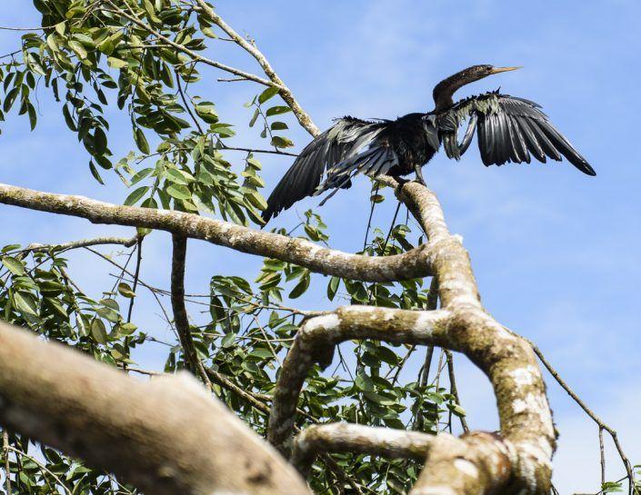 Pájaro serpiente (Anhinga anhinga)