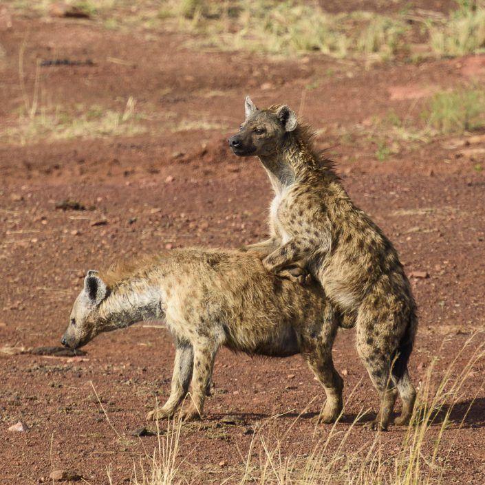 Hiena tacada (Crocuta crocuta) - Masai Mara
