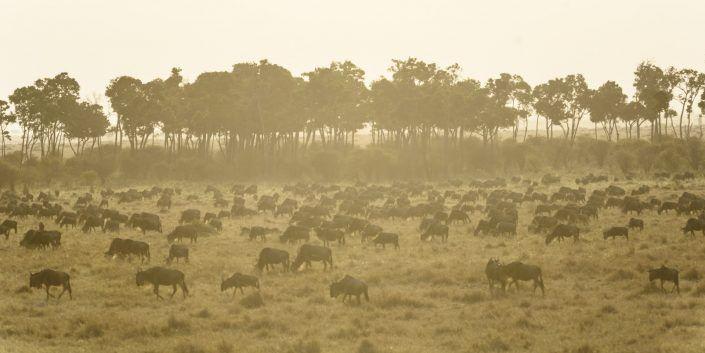 Ñu azul (Connochaetes taurinus) - Reserva nacional Masai Mara