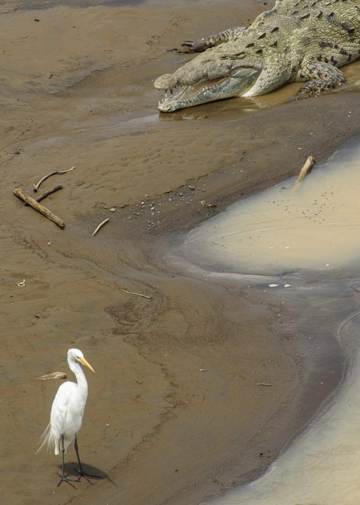 Cocodrilo americano (Crocodrylus acutus) y Garza blanca (Ardea alba)