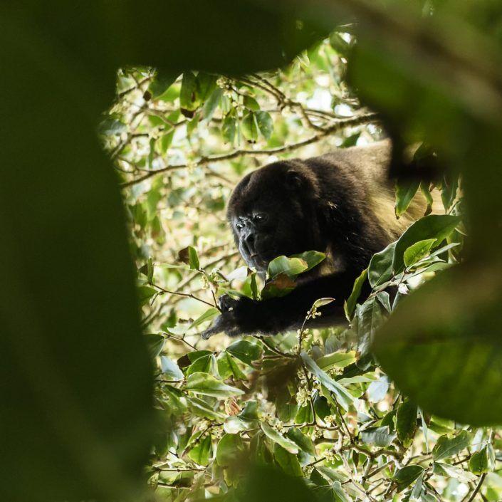 Mono congo o mono aullador negro (Alouatta palliata)