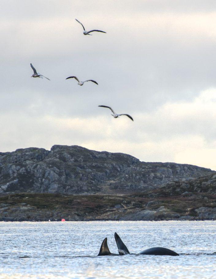 Orca (Orcinus orca) - Fiords de Tromso