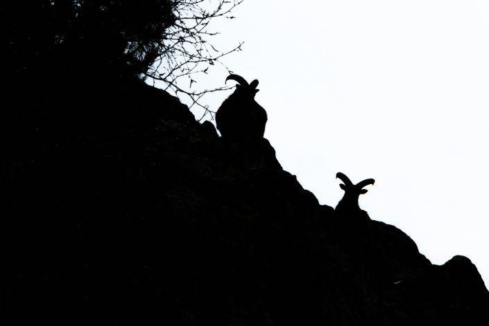 Muflón común europeo (Ovis orientalis musimon)