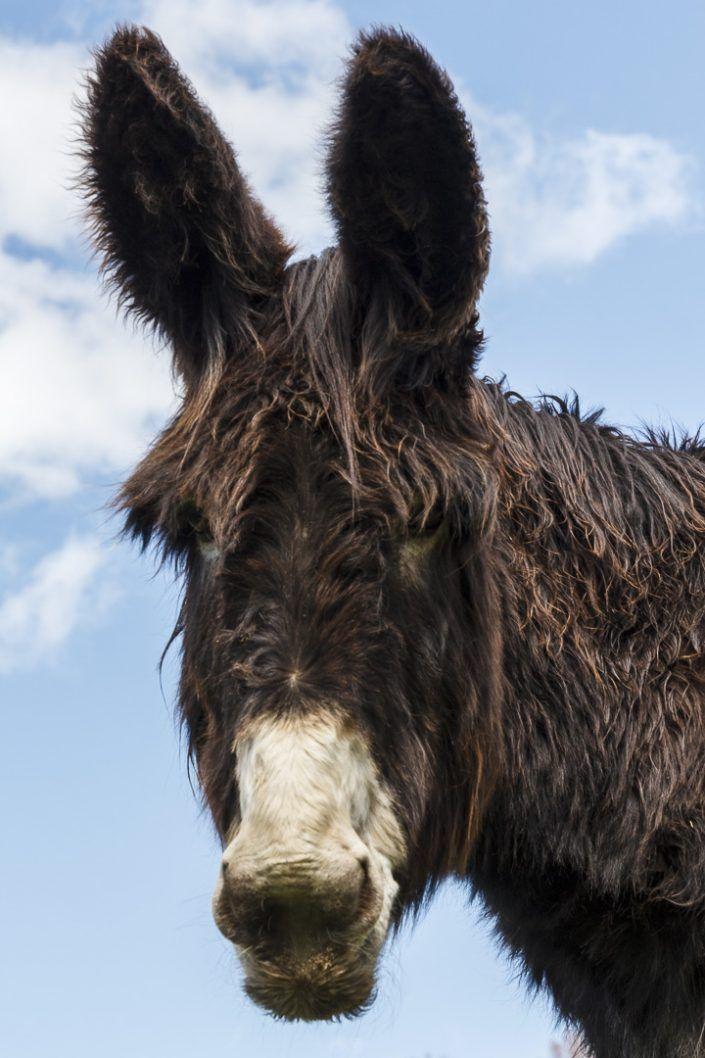 Burro catalán - Equus africanus asinus