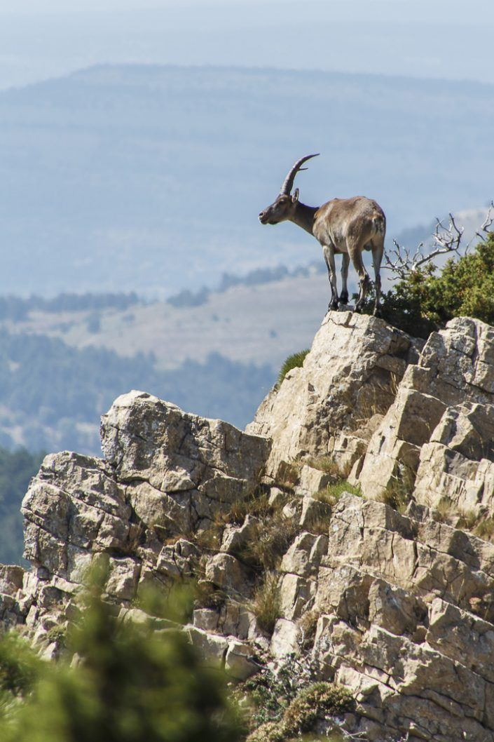 Cabra ibérica (Capra pyrenaica)