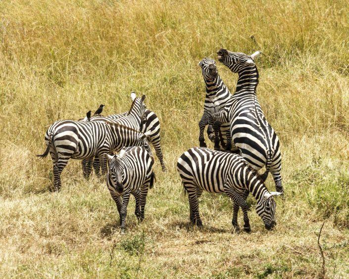Zebra (Equus zebra) - PN Kidepo Valley