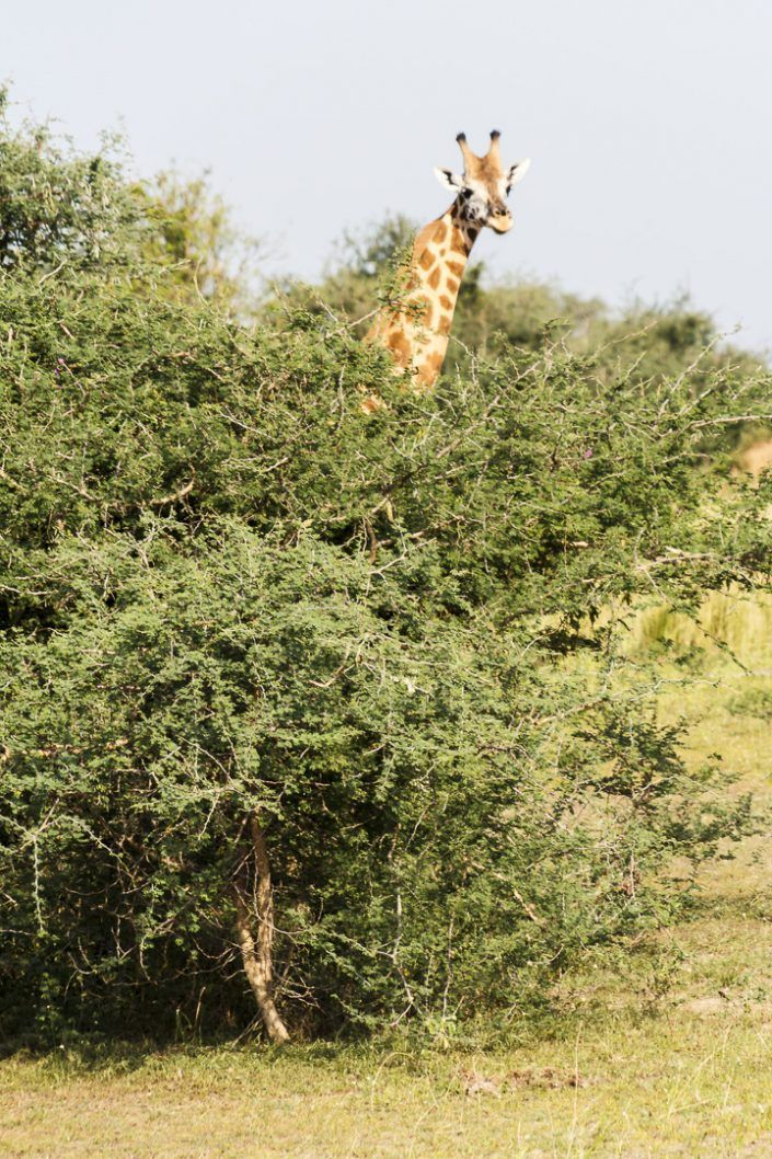 Girafa (Giraffa camelopardalis) - PN Murchison Falls