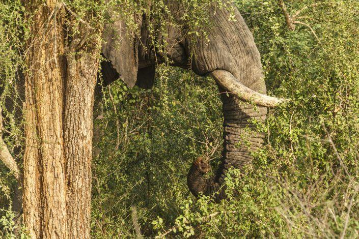Elefant africà (Loxodonta africana) - PN Murchison Falls