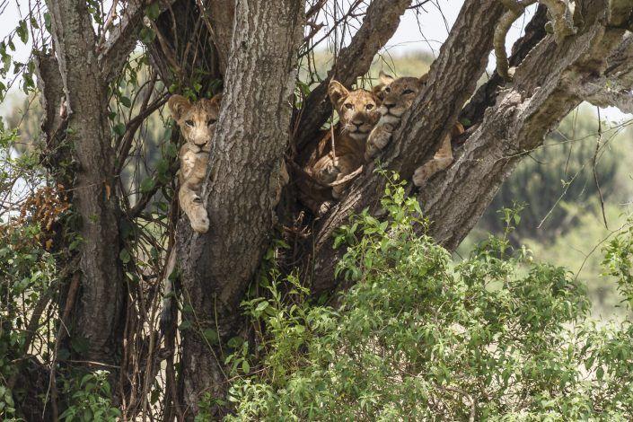 León trepador africano (Phantera leo)