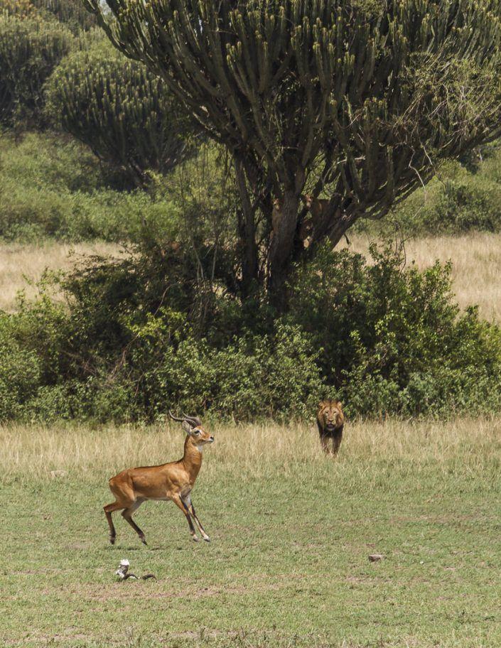 Gacela de Grant (Nanger granti) y lleó africà (Phantera leo)