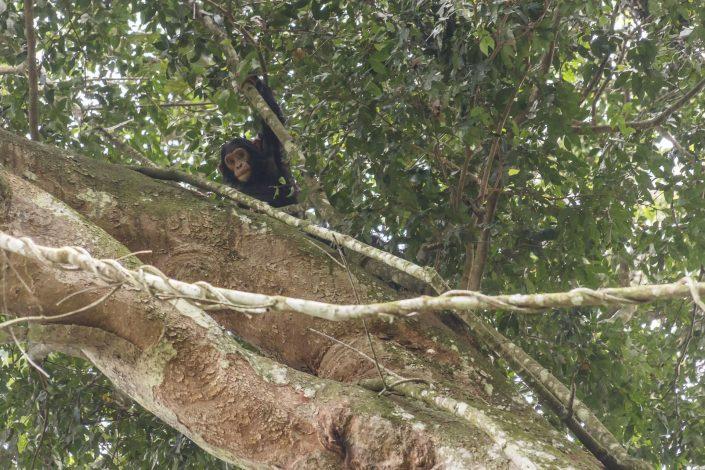 Ximpanzé comú (Pan troglodytes) - PN Queen Elizabeth