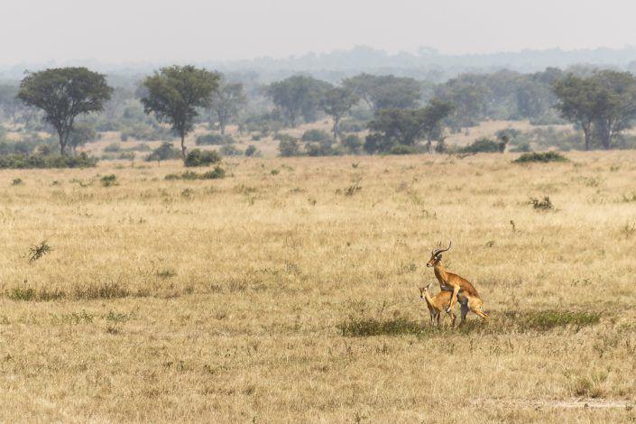Impala (Aepyceros melampus) - PN Queen Elizabeth