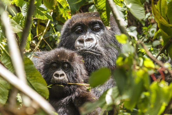 Gorila de muntanya (Gorilla beringei) - PN Des Volcans
